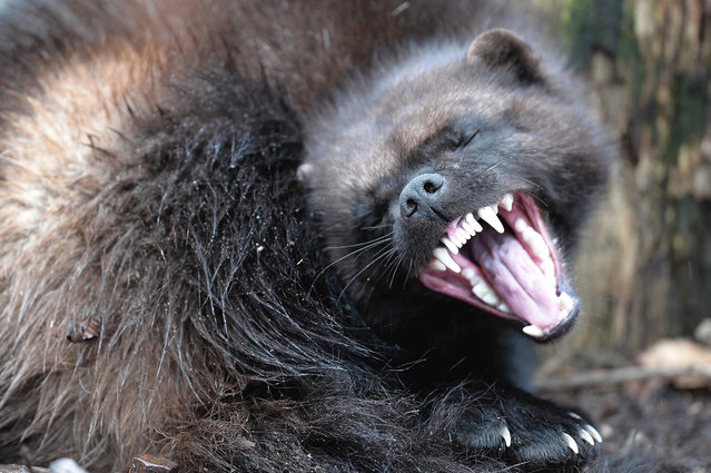 A wolverine is pictured during its first public appearance at the Animal Park of Sainte-Croix in Rhodes, eastern France on January 28, 2016. (Photo by Frederick Florin/AFP Photo)