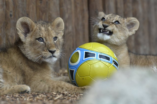 Two fourteen-week old Barbary lions (Panthera leo leo), a male named Ramzes and a female named Zara, play with ball after a naming ceremony at the Bojnice Zoo April 4, 2015. (Photo by Radovan Stoklasa/Reuters)