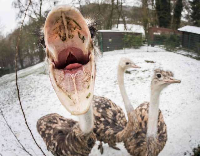 Curious ostriches watch the photographer making pictures of them on January 9, 2017 at the Opelzoo zoo in Kronberg near Frankfurt am Main, western Germany. (Photo by Frank Rumpenhorst/AFP Photo/DPA)
