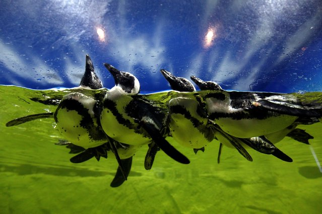 Penguins swim at Times City or Vinpearl City Times Aquarium in Hanoi, Vietnam, December 30, 2013. The aquarium, which is considered the largest aquarium in Vietnam so far, was officially opened on December 24, 2013. (Photo by Luong Thai Linh/EPA)