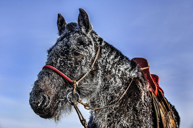 The fur of a horse ices up in the –40 cold of Mongolia. (Photo by Batzaya Choijiljav/Caters News)