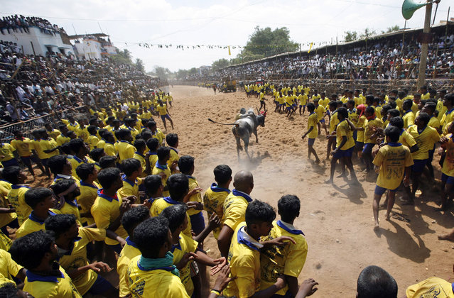 A bull tamer tries to control a bull during the bull-taming sport called Jallikattu, in Palamedu, about 575 kilomters (359 miles) south of Chennai, India, Tuesday, January 15, 2013. (Photo by Arun Sankar K./AP Photo)