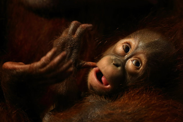A baby orangutan is seen during the zoo birthday bash celebration at the Singapore Zoo on June 27, 2013 in Singapore. (Photo by Suhaimi Abdullah/Getty Images)