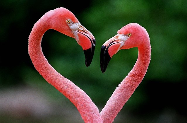Two flamingos perform a courtship dance at Palm Beach Zoo in West Palm Beach. (Photo by Taylor Jones/The Palm Beach Post)