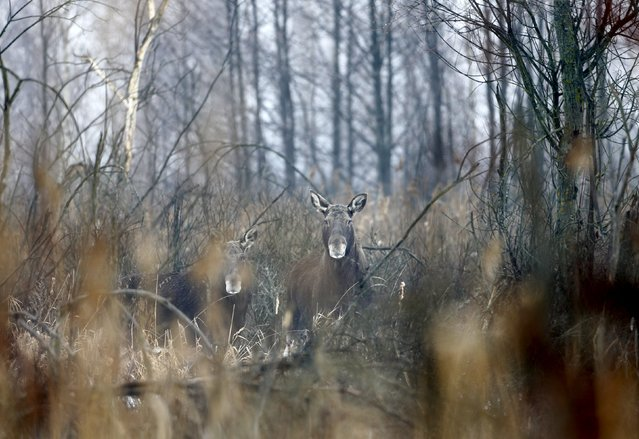 Elks are seen in the 30 km (19 miles) exclusion zone around the Chernobyl nuclear reactor near the abandoned village of Dronki, Belarus, January 28, 2016. (Photo by Vasily Fedosenko/Reuters)