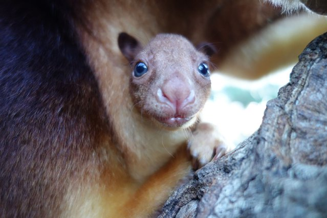 In this handout image provided by Taronga Zoo, an unnamed baby Goodfellows Tree Kangaroo joey is seen in it's mothers pouch on March 10, 2014 in Sydney, Australia. Taronga Zoo is celebrating the successful birth of its first Goodfellows Tree Kangaroo joey in more than 20 years. Zookeepers have only just begun seeing her peeking out from first-time mother, Qwikilas, pouch after she was born in September last year. (Photo by Taronga Zoo via Getty Images)