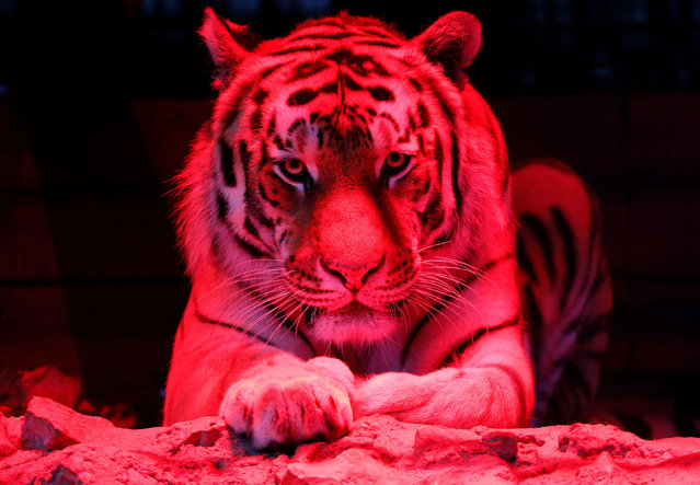 Bartek, a six-year-old Amur tiger, look on inside an open-air cage, as illumination is lit on for late visitors to observe animals at night environment, at the Royev Ruchey zoo in Krasnoyarsk, Russia, July 2, 2019. (Photo by Ilya Naymushin/Reuters)