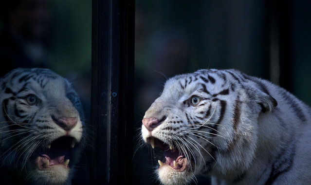 Cleo an white Bengal tiger of the Buenos Aires Zoo, looks through the glass of her enclosure at the zoo in Argentina, Wednesday, April 16, 2014. Cleo, a captive white Bengal tiger, gave birth to two females and one male, white tiger cubs on Jan. 16, 2014. (Photo by Natacha Pisarenko/AP Photo)