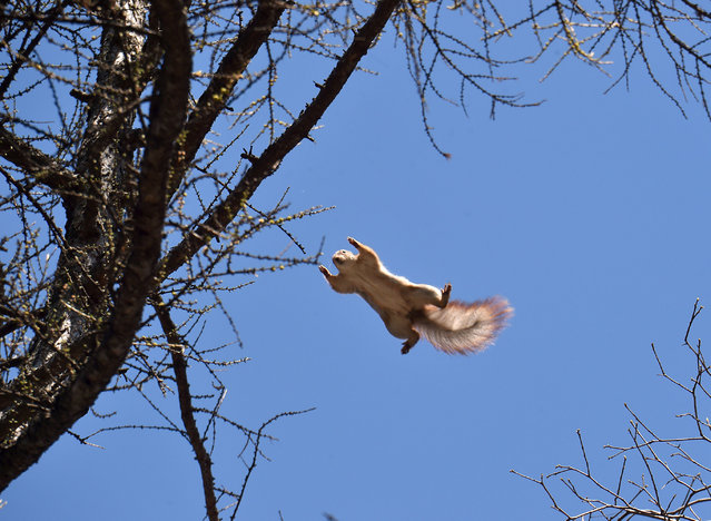 A squirrel jumps on a sunny day on March 30, 2017 in the center of the Ukrainian capital Kiev. (Photo by Sergei Supinsky/AFP Photo)