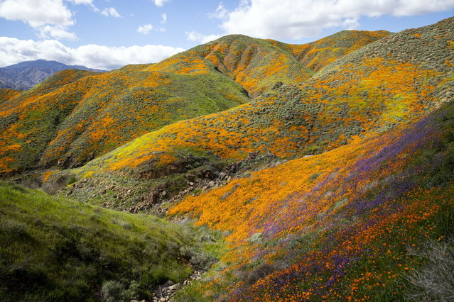 Poppy fields are blooming on the slops of Walker Canyon near Lake Elsinore, California, USA, 08 March 2019. The heavy rains in California have boosted the growth of wild desert flowers, an occurrence called super bloom. (Photo by Etienne Laurent/EPA/EFE)