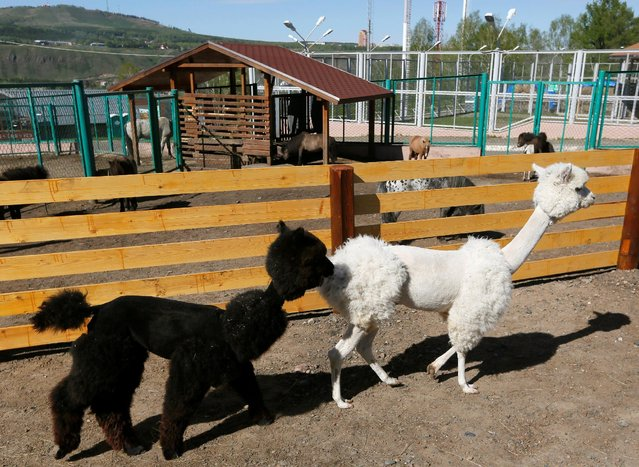 Alpacas Romeo (L) and Juliette, one-year old and two-year old, walk after they were groomed inside their open air cage at the Royev Ruchey Zoo in the suburbs of Krasnoyarsk, Siberia, Russia, May 24, 2016. (Photo by Ilya Naymushin/Reuters)