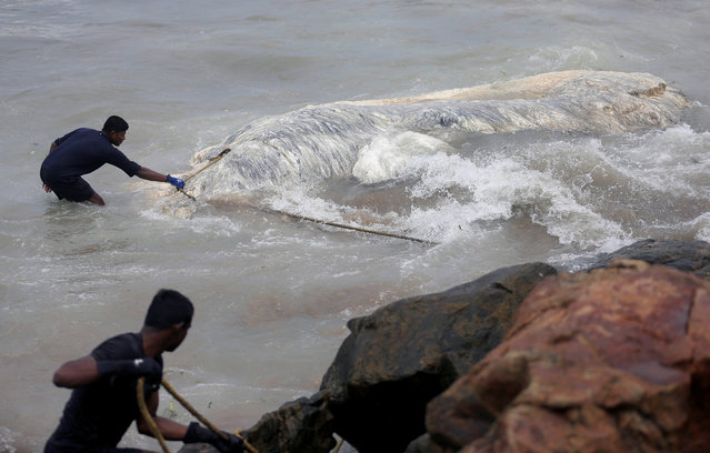 Military officials pull a dead whale out of the sea in Colombo, Sri Lanka May 22, 2017. (Photo by Dinuka Liyanawatte/Reuters)