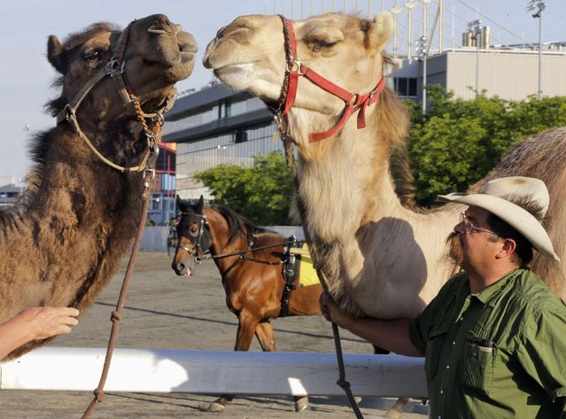 """A race horse (C) looks at two camels being exercised by handler Monte McClurg (R), before an exhibition race billed as """"The Cameltonian"""" at the Meadowlands Race Track in East Rutherford, New Jersey, June 21, 2014. Run by Hedrick's Promotions in Nickerson, Kansas, this is the third year the race has been run at the track, in tandem with an ostrich race. (Photo by Ray Stubblebine/Reuters)"""