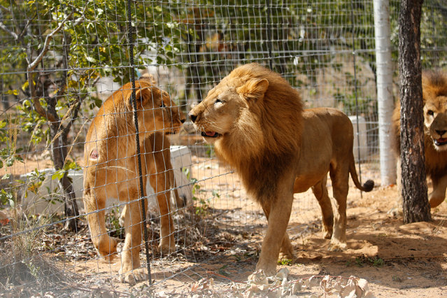 Some of the 33 lions rescued from circuses in Peru and Columbia are seen after being released at their final destination at the Emoya Big Cat Sanctuary, outside Vaalwater in South Africa's northern Limpopo province, May 1, 2016. (Photo by Siphiwe Sibeko/Reuters)