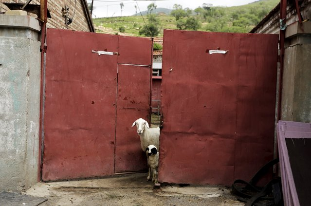 Sheep look out from a gate at a village near Dolomiti Mountain Resort in Chongli county of Zhangjiakou, jointly bidding to host the 2022 Winter Olympic Games with capital Beijing, July 31, 2015. Beijing, which hosted the 2008 Summer Olympics Games, hopes to beat Almaty, Kazakhstan, and win the 2022 Winter Olympics, when a decision is made on Friday in the Malaysian capital, Kuala Lumpur. (Photo by Jason Lee/Reuters)