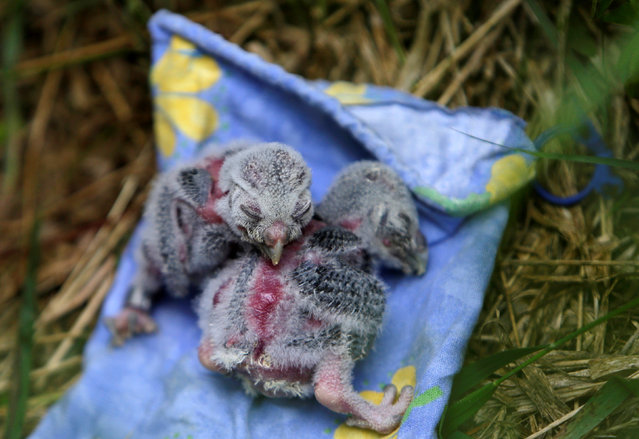 "Two Boreal owl chicks rest outside the ""Smart Nest Box"", which allows the study of birds by using mounted cameras, after being inspected in a forest near the village of Mikulov, Czech Republic, June 18, 2016. (Photo by David W. Cerny/Reuters)"