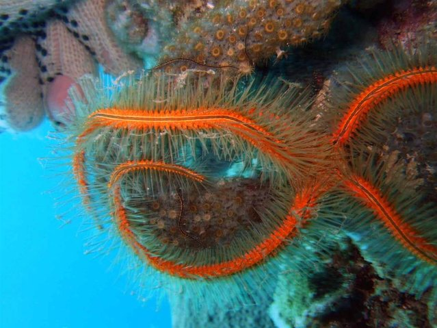 These nocturnal echinoderms (Ophiothrix suesonii) are called sponge brittle stars. They are very common in the Caribbean. They are so named because they are found exclusively either inside or outside living sponges