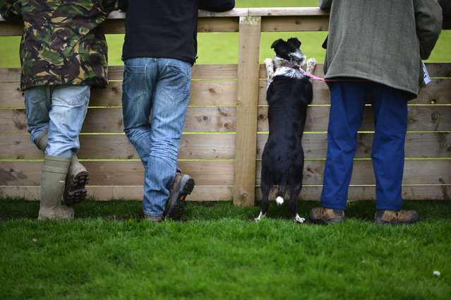 A sheepdog watches another dog in the auction ring as it waits its turn to be auctioned at Skipton Auction Mart