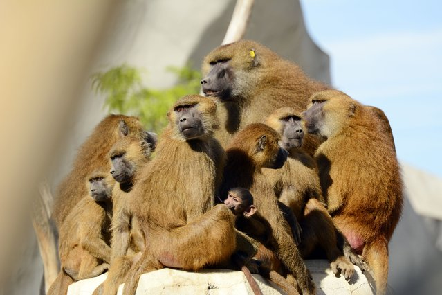 A photo taken on August 10, 2015 shows a family of Guinea Baboons standing on a rock at the Paris Zoological Park (parc zoologique de Paris), formerly known as the Bois de Vincennes Zoological Park, in Paris. The zoo reopened to the public on April 12, after 6 years of renovation work. (Photo by Bertrand Guay/AFP Photo)