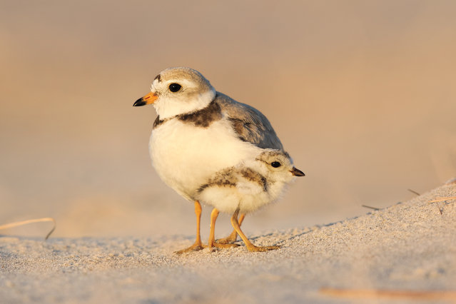 Amateur honorable mention | Piping plovers on the north shore of Massachusetts. (Photo by Martin Sneary/Audubon Photography Awards)