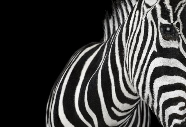 Zebra. (Photo by Brad Wilson)