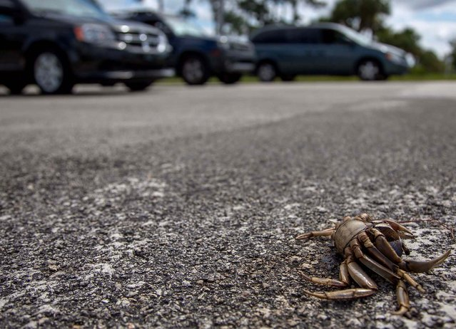 A crab carcass is one of many tha line Kanner Highway in Stuart on September 11, 2012. (Photo by Thomas Cordy/The Palm Beach Post)