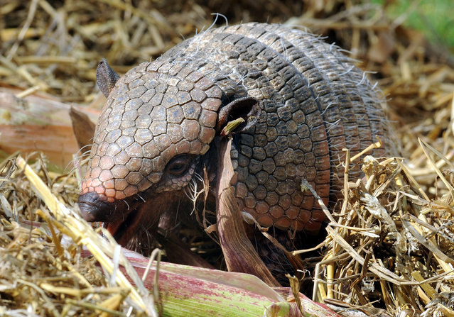 A armadillo eats a corn cob in its opendoor enclosure at the Zoo in Hanover, northern Germany, on October 10, 2012. Armadillos are primarily found in South and Central America. (Photo by Holger Hollemann/AFP Photo)