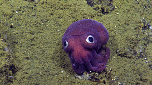This Aug. 10, 2016, image provided by OET/NautilusLive shows a stubby squid on the ocean floor near Channel Islands National Park west of Los Angeles, Calif. The team of scientists that discovered the cephalopod that is closely related to a cuttlefish is part of a four-month Ocean Exploration Trust expedition to map fault zones and understand ecosystems around them. (Photo by OET/NautilusLive via AP Photo)