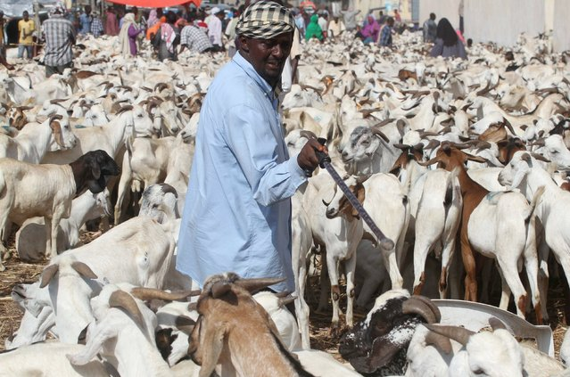 Traders wait for customers at a livestock market ahead of the Eid al-Adha festival in Somalia's capital Mogadishu, September 22, 2015. Muslims across the world are preparing to celebrate the annual festival of Eid al-Adha or the Feast of the Sacrifice, which marks the end of the annual haj pilgrimage, by slaughtering goats, sheep, cows and camels in commemoration of the Prophet Abraham's readiness to sacrifice his son to show obedience to Allah. (Photo by Ismail Taxta/Reuters)