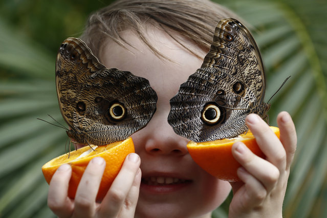George Lewys, aged 5, poses for a photograph with Owl butterflies during an event to launch the Sensational Butterflies exhibition at the Natural History Museum in London, Britain March 30, 2017. (Photo by Stefan Wermuth/Reuters)