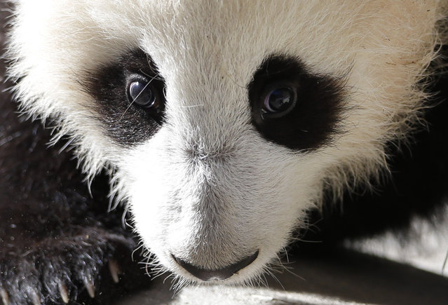 Xiao Liwu, a 5 1/2-month-old male panda, looks on from his enclosure at the San Diego Zoo Wednesday, January 16, 2013, in San Diego. The panda cub now is on display for short periods at the Zoo, after passing recent health examinations. (Photo by Gregory Bull/AP Photo)
