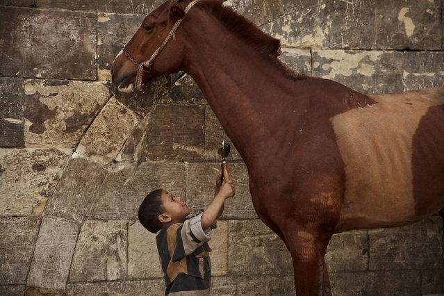 In this Saturday, March 8, 2014 photo, Mustafa Mohamed, 5, reaches to trim a horse at his father's makeshift animal barber shop in Cairo, Egypt. The boy's father is one of Cairo's donkey barbers, a unique trade in the region, an expert in trimming and styling horses, camels, mules, sheep, goats, dogs and donkeys. (Photo by Maya Alleruzzo/AP Photo)