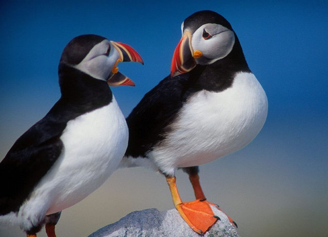 Atlantic Puffin Is AKA Puffins Or Puffin Birds