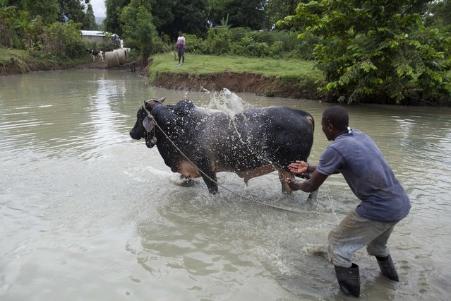 In this November 9, 2014 photo, a man sprays water on his bull after he entered his bull in a fight in Leogane, Haiti. When several owners are satisfied with the bets, two bulls are released to charge into a bone-rattling collision. (Photo by Dieu Nalio Chery/AP Photo)