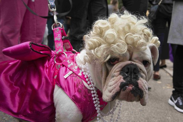 A bulldog dressed as Marilyn Monroe poses for a photograph during the annual Tompkins Square Halloween Dog Parade in the Manhattan borough of New York City, October 24, 2015. (Photo by Stephanie Keith/Reuters)