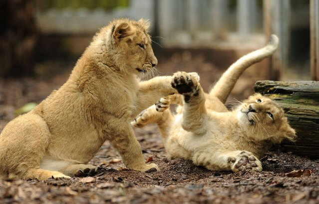 Four-and-a-half month old Asiatic lion cubs Kamran and Ketan play in their new home after being released in their enclosure for the first time for the public to see at Bristol Zoo Gardens, on March 22, 2013. (Photo by Tim Ireland/PA Wire)