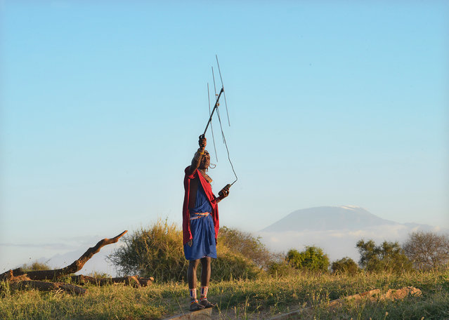 """A Kenyan Maasai """"Moran"""" (warrior) scans with a radio antenna for a signal from a radio-collar fitted on a lioness in order to establish her pride's location in the surrounding scrub, on September 11, 2016, at the Selenkay community conservancy, where some of the indigineous Maasai Morans have foregone their ancestral role as lion-hunters to instead protect the big cat under a conservation scheme named """"Lion Guardians"""". Coupling age-old Maasai know-how with contemporary science, co-founder of the scheme Stephanie Dolrenry inventories, photographs and studies the behaviour of the lions that are now returning to the 3,684 square kilometres (1,040 square miles) under surveillance by the project. In a previous life, the Massai men would have killed the animals as part of a rite known as """"olamayio"""" which is traditionally seen as the highest act of courage, winning prestige and praise for the hunter. The scheme's work boosted the Morans' status within their community while their almost daily contact with the lions maintained their traditional aura. (Photo by Tony Karumba/AFP Photo)"""