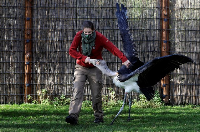 A zoo keeper catches a marabou stork to move it to its winter enclosure at closed Prague Zoo amid coronavirus disease (COVID-19) restrictions in Prague, Czech Republic, November 5, 2020. (Photo by David W. Cerny/Reuters)