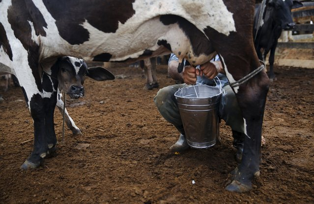 Edivaldo Fernandes Oliveira milks a cow at his farm in Rio Pardo next to Bom Futuro National Forest, in the district of Porto Velho, Rondonia State, Brazil, September 1, 2015. (Photo by Nacho Doce/Reuters)