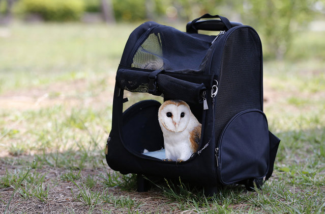 "Owl ""Baron"" stays inside a pet carrier leaving the window open at a Tokyo park Sunday, May 26, 2013. (Photo by Shizuo Kambayashi/AP Photo)"