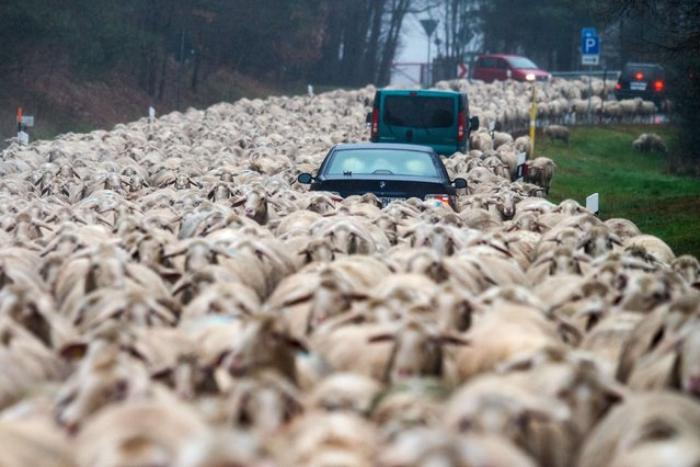 Cars stuck in a flock of sheep being driven across a street to another meadow near Bad Koetzting, southern Germany, on December 1, 2015. (Photo by Armin Weigel/AFP Photo/DPA)