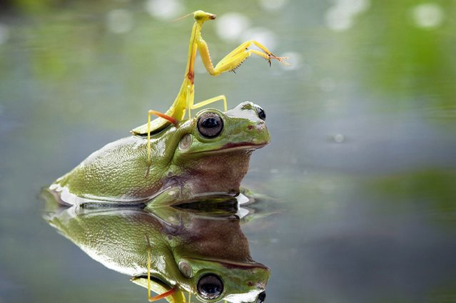 This praying mantis didn't fancy getting wet – so it hitched a ride on the back of a helpful frog, on July 30, 2013. Nordin Seruyan, from Borneo, Indonesia, captured the moment in a shallow pond near his home. (Photo by Nordin Seruyan/Solent News)