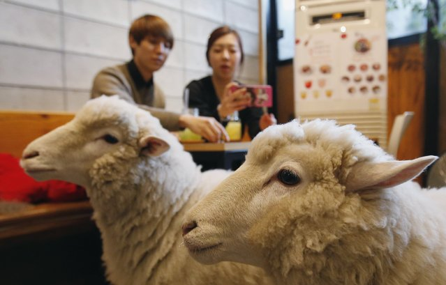 A woman takes photographs of sheep at a sheep cafe in Seoul February 6, 2015. A growing number of visitors including foreign tourists are coming to the cafe to enjoy the upcoming Year of the Sheep, according to the cafe's owner. The Chinese Lunar New Year on February 19 will welcome the Year of the Sheep (also known as the Year of the Goat or Ram). (Photo by Kim Hong-Ji/Reuters)