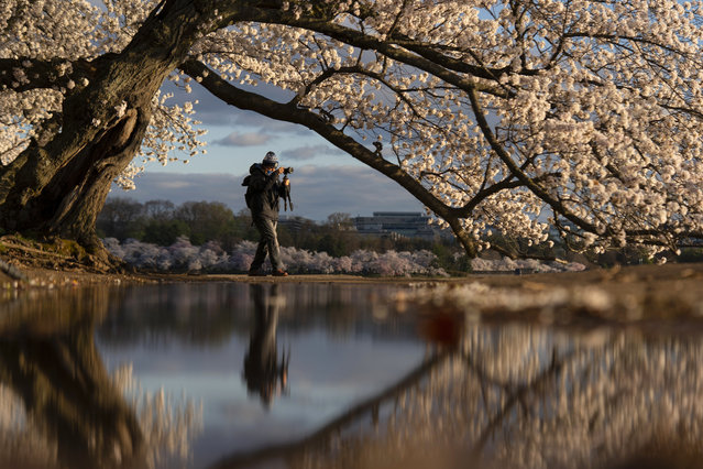 A photographer is reflected in a puddle under blooming Yoshino cherry trees on the edge of the Tidal Basin, Monday, March 29, 2021, in Washington. The 2021 National Cherry Blossom Festival celebrates the original gift of 3,000 cherry trees from the city of Tokyo to the people of Washington in 1912. (Photo by Carolyn Kaster/AP Photo)