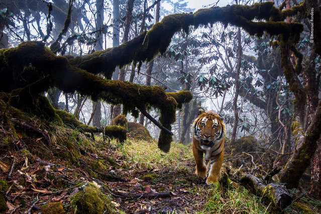 "Tigerland by Emmanuel Rondeau, France. Highly commended, Animals in their environment. ""In a remote forest, high in the Himalayas of central Bhutan, a Bengal tiger fixes his gaze on the camera. The path he treads is part of a network linking the country's national parks – corridors that are key to the conservation of this endangered subspecies but unprotected from logging and poaching"". (Photo by Emmanuel Rondeau/2014 Wildlife Photographer of the Year)"