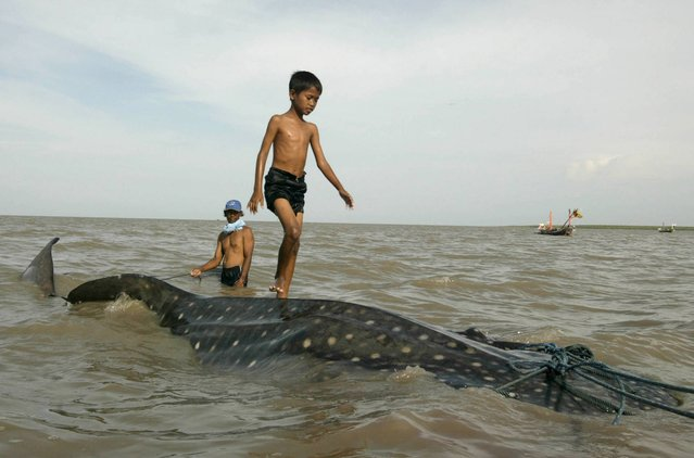 An Indonesian youth walks on the back of a beached whale shark as fishermen prepare to pull it back to the sea at Kenjeran beach in Surabaya, East Java, Indonesia, Tuesday, October 22, 2013. The whale survived and successfully released back into the sea. (Photo by AP Photo/Trisnadi)