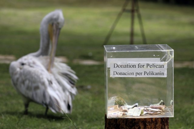 A donation box for pelicans is placed in Divjaka-Karavasta Lagoon, western Albania, Tuesday, June 22, 2021.The pandemic has brought one good thing to the Divjaka-Karavasta Lagoon in western Albania – calmness for the pelicans and increase of their numbers. Officials of the Regional Agency of Protected Areas say number of the pelicans' reproductive couples has increased by one-fifth in the last two years, from 68 in 2019 to 85 in 2020 and the same this year. (Photo by Hektor Pustina/AP Photo)