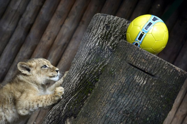 Ono of two fourteen-week old Barbary lions (Panthera leo leo), a male named Ramzes and a female named Zara, plays with a ball after a naming ceremony at the Bojnice Zoo April 4, 2015. (Photo by Radovan Stoklasa/Reuters)