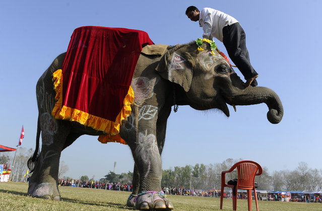 A Nepalese mahout demonstrates his skill with a pachyderm during an elephant beauty pageant at Sauraha in Chitwan, some 150 kms southwest of Kathmandu, during the Chitwan Elephant Festival on December 29, 2013. The ongoing five-day long Chitwan Elephant Festival is celebrated with elephants, horses, and bullock cart races as well as elephant soccer games and an elephant beauty pageant. (Photo by Prakash Mathema/AFP Photo)