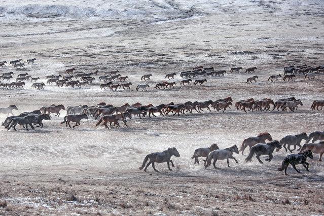 Many horses in the east Mongolia. (Photo by Batzaya Choijiljav/Caters News)